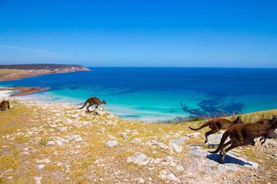 flinders-chase-canguri