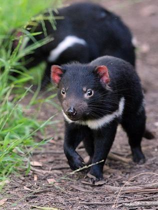 tasmania-devil2