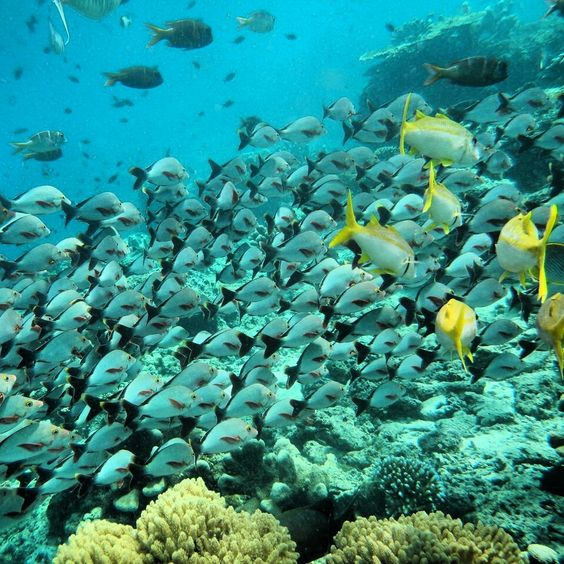 sipdan-pesci